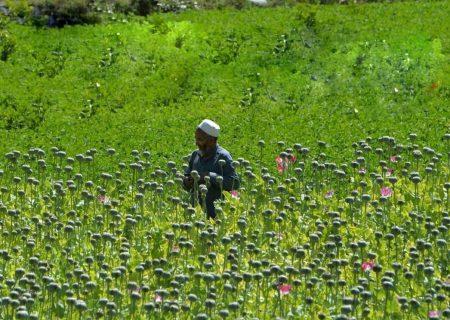 چقدر تریاک در افغانستان تولید میشود؟