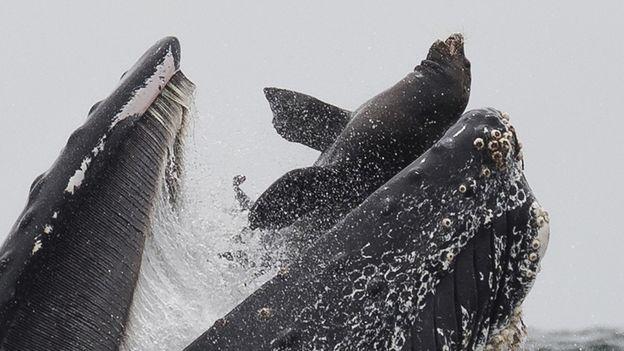 عکس؛ نهنگی که یک شیر دریایی را 'میبلعد'