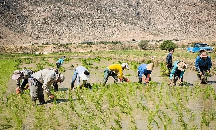 «۴۳۲ میلیارد تومان باید به کشاورزان فارس بدهیم تا برنج نکارند»
