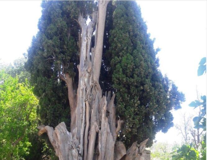 ۲ درخت کهنسال کازرون در فهرست آثار ملی به ثبت رسید