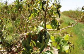 زیان سرمازدگی به کشاورزی شیراز بیش از ۴۸۸ میلیارد تومان برآورد شد