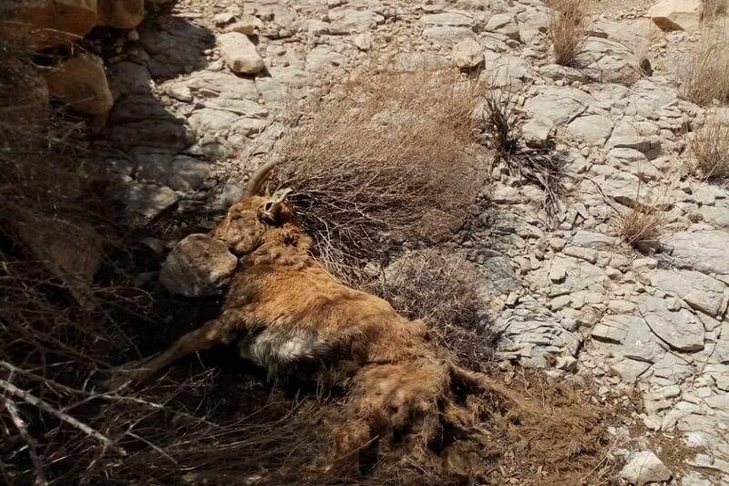 طاعون نشخوارکنندگان به جان حیاتوحش لارستان افتاد