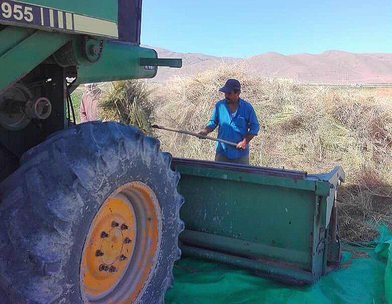 پیشبینی تولید ۱۵ تن سیاهدانه در اقلید فارس