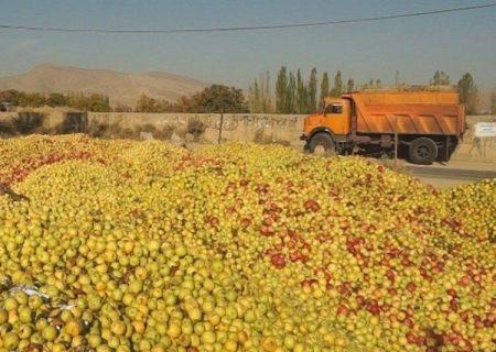 معاون وزیر جهاد کشاورزی: خرید تضمینی سیب، سدی محکم در مقابل دلالان است