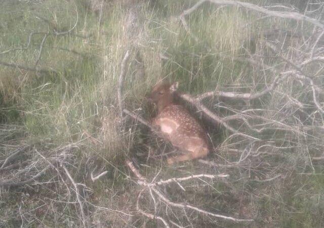 تولد نخستین گوساله گوزن زرد در ارسنجان فارس