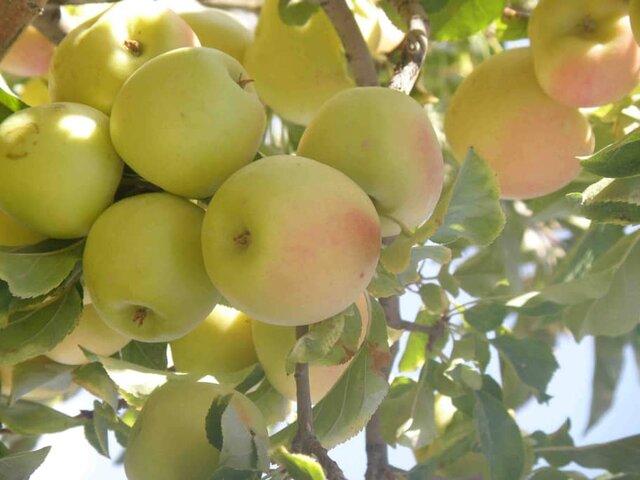 پیشبینی برداشت ۱۰۰ هزار تن سیب در شیراز