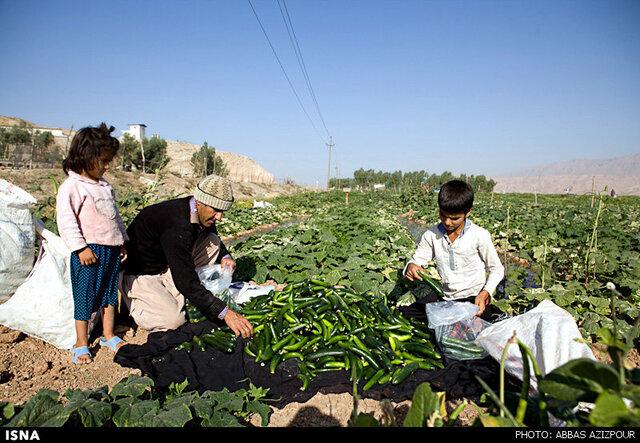 خرید توافقی ۲۰۰ تن خیار صنعتی از کشاورزان فارس