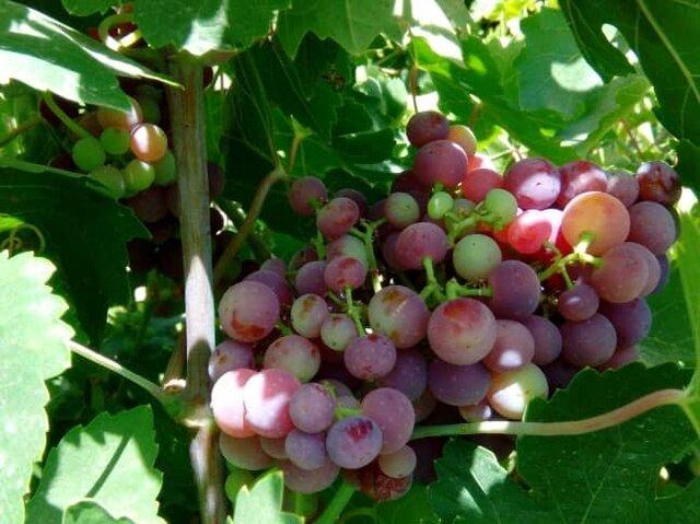 امسال ۲۰ هزار تن انگور از تاکستانهای شیراز برداشت میشود