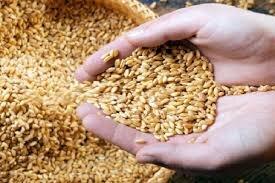 تولید بیش از ۳۴ هزار تن گندم بذری در مرودشت