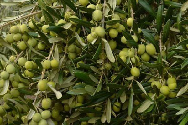 پیشبینی تولید ۴۰۰ تن زیتون در باغهای مرودشت
