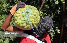 امسال ۹ هزار تن لیمو در داراب برداشت میشود