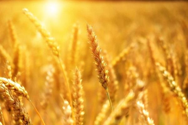 آغاز خرید تضمینی گندم در فارس