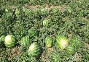 برداشت هندوانه در شمال فارس