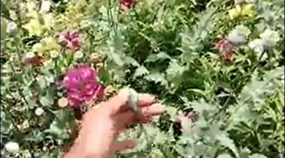 تکذیب کاشت خشخاش در مرکز بهداشت انقلاب شیراز