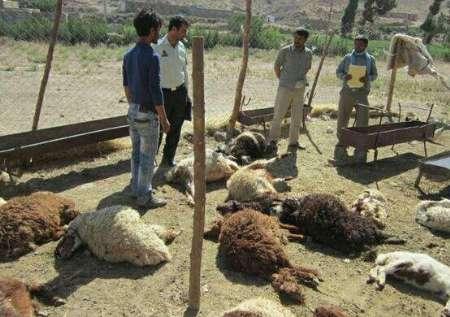 پلنگ 27 گوسفند را در قلعهگنج کرمان درید