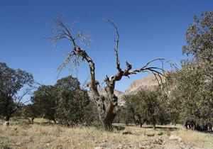 نابودی ۸۹ هزار هکتار از جنگلهای بلوط فارس