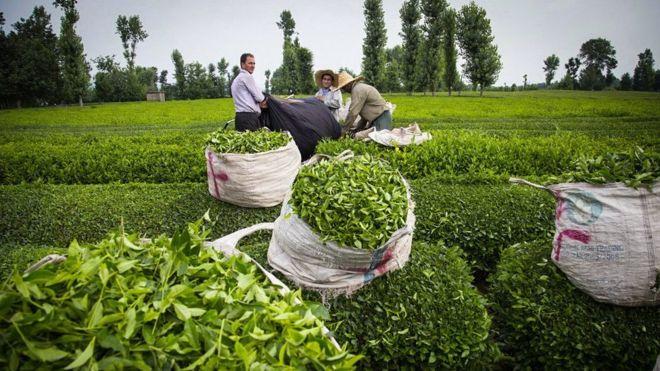 رونق بازار چای ایرانی
