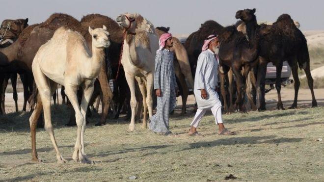 عربستان به قطر: شترهایتان را ببرید