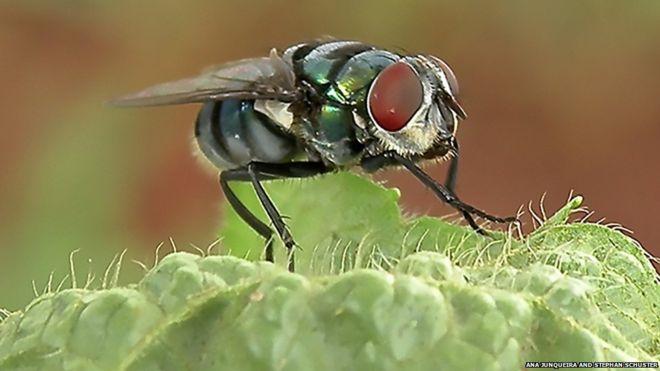 مگسها بیش از حد تصور حامل میکروب هستند
