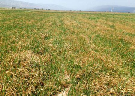 خسارت ۱۴ میلیارد تومانی سرمازدگی به کشاورزی فیروزآباد