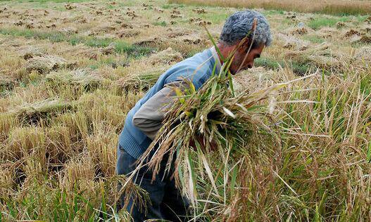 کشت برنج در فارس «ممنوع میشود»