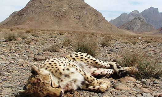 شکارچی پلنگ در میمند فیروزآباد شناسایی شد